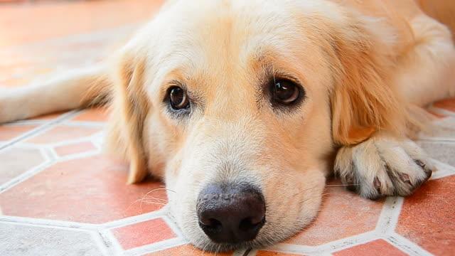 Süße Golden Retriever Hund Gesicht