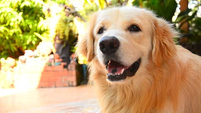 cute face golden retriever dog - golden retriever stock videos & royalty-free footage