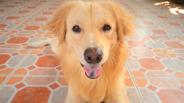 cute face golden retriever dog - dog tail stock videos and b-roll footage