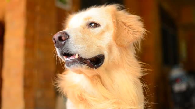 vidéos et rushes de visage golden retriever chien mignon - bouche des animaux