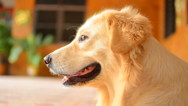 cute face golden retriever dog - hd 25 fps stock videos & royalty-free footage