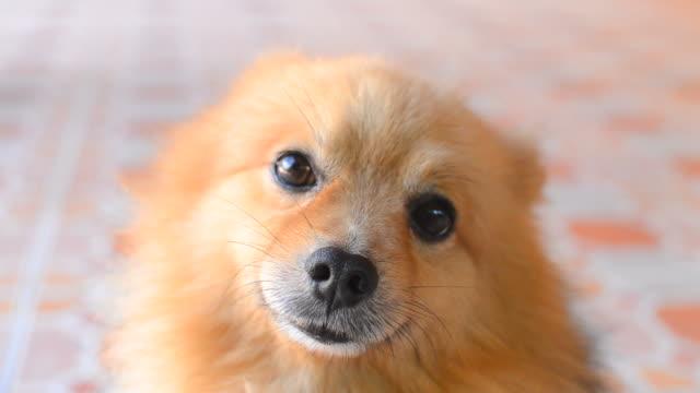 Viso Volpino di Pomerania cane Carino