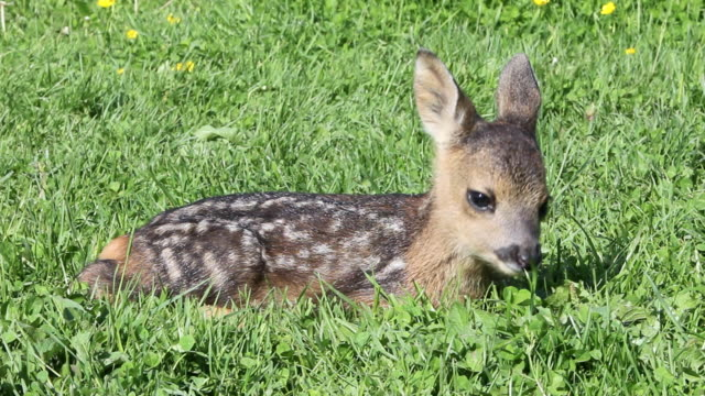 stockvideo's en b-roll-footage met cute fawn eating grass, sitting down - reekalf