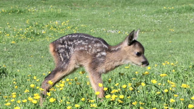 cute fawn eating grass, standing - wildflower stock videos & royalty-free footage