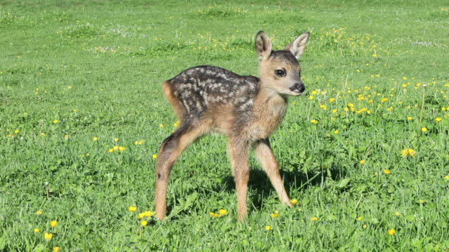 cute fawn standing on grass - fawn stock videos & royalty-free footage