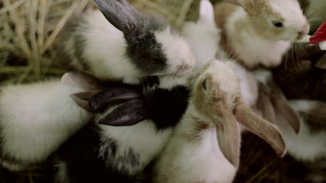cu: cute fluffy light brown and white baby bunny - cottontail stock videos & royalty-free footage