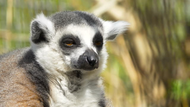 cute fluffy little animal saddened by basking in the sun Portrait of a lemur who basks in the sun and rests