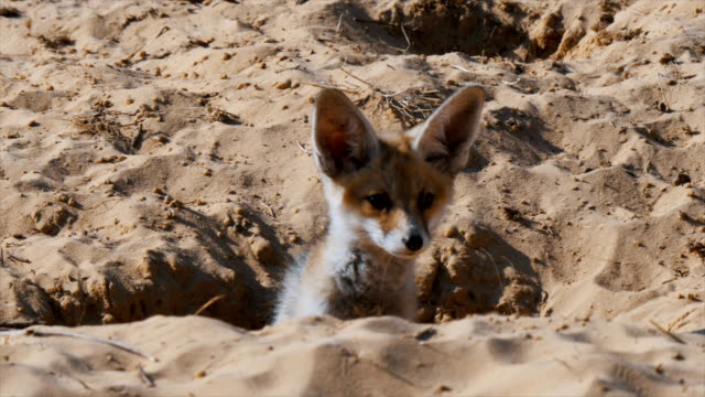 cute fox cub (vulpes vulpes) looking at camera, peeping out of fox den in sandy area - young animal stock videos & royalty-free footage