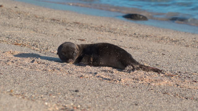 cute furry seal pup lies on sandy beach as waves gently roll in beyond on sunny day - galapagos islands, ecuador - seal pup stock videos & royalty-free footage