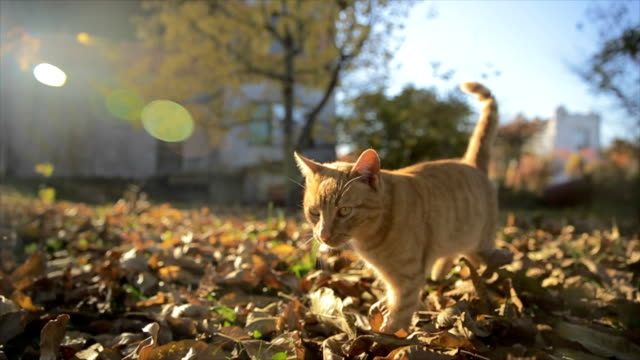 Cute ginger cat outdoor in the farm