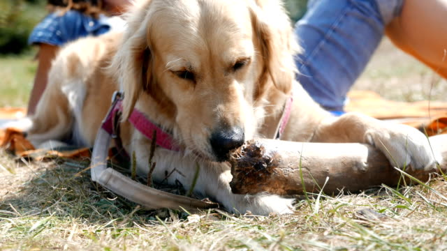 cute golden retriever dog chewing on a big wooden stick or branch - limb body part stock videos & royalty-free footage