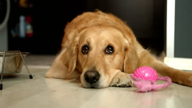 vídeos de stock e filmes b-roll de cute golden retriever dog laying on the floor and looking up to it's owner - dono