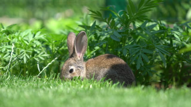 cute gray cottontail bunny rabbit munching grass in the garden - formal garden stock videos & royalty-free footage