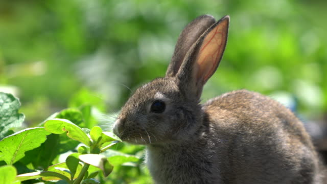 cute gray cottontail bunny rabbit munching grass in the garden - silver coloured stock videos & royalty-free footage