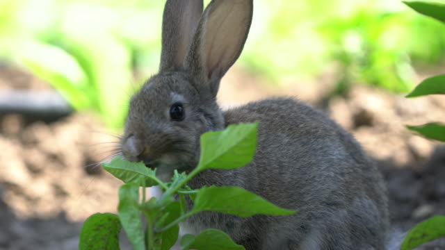 cute gray cottontail bunny rabbit munching grass in the garden - rabbit animal stock videos and b-roll footage