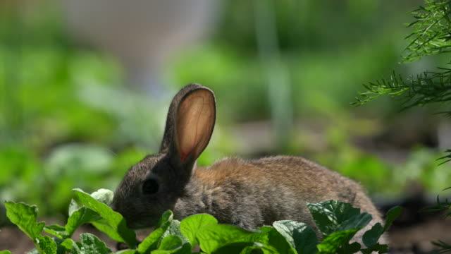 vídeos de stock e filmes b-roll de cute gray cottontail bunny rabbit munching grass in the garden - alface