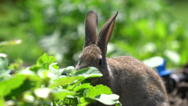 cute gray cottontail bunny rabbit munching grass in the garden - cottontail stock videos & royalty-free footage