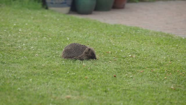 cute hedgehog eating and foraging for food on a grass lawn - rodent stock videos & royalty-free footage