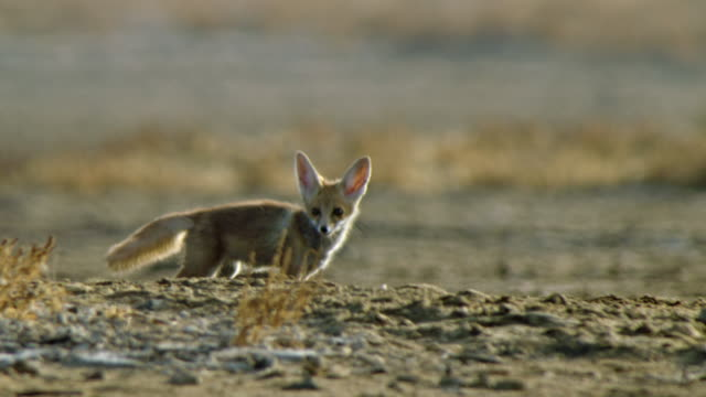 a cute indian fox cub scanning landscape and shaking its head - follow shot - young animal stock videos & royalty-free footage