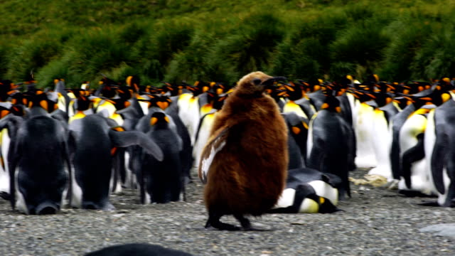 cute king penguin chick - sea bird stock videos & royalty-free footage