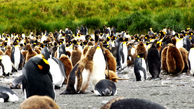 cute king penguin chick - south georgia island stock videos and b-roll footage