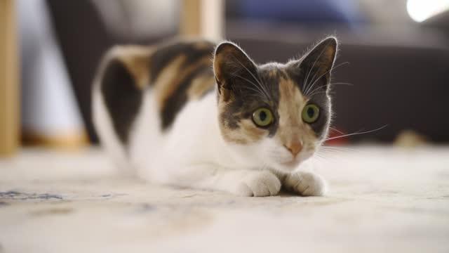 vídeos de stock, filmes e b-roll de gatinho bonito perseguindo um brinquedo em uma casa residencial - espreitando