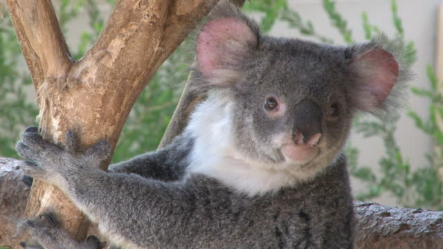 cute koala - gripping stock videos & royalty-free footage