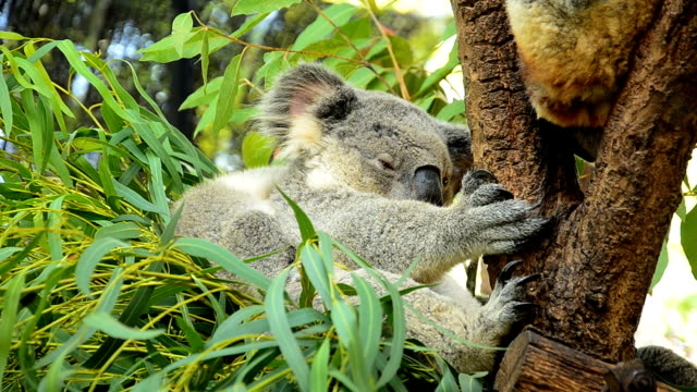 cute koalas - hugging tree stock videos & royalty-free footage