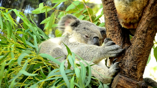 vídeos y material grabado en eventos de stock de linda koalas - pelo de animal