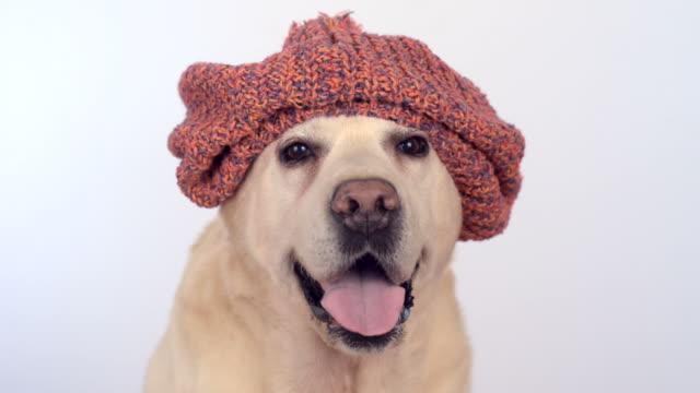cute labrador in a knitted hat on white background - retriever stock videos & royalty-free footage