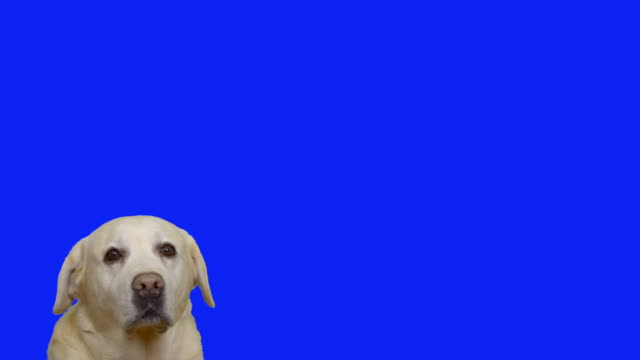 vídeos de stock e filmes b-roll de cute labrador. - confiabilidade