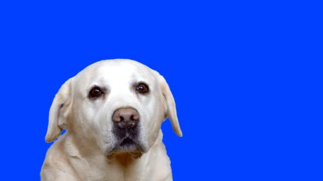 vidéos et rushes de mignon labrador - objet ou sujet détouré