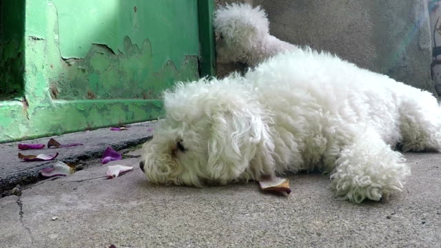 Cute little bichon frise enjoy outdoor