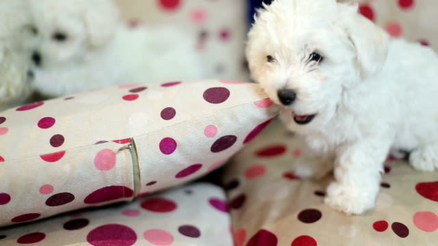 cute little bichon puppys playing - havanese stock videos & royalty-free footage