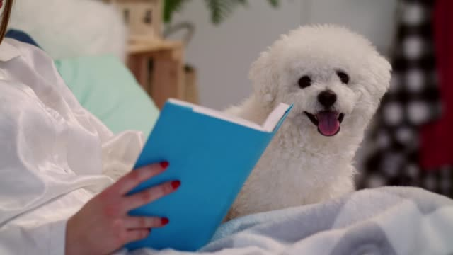 cute little dog getting pet by his owner while relaxing in bed - pet bed stock videos and b-roll footage