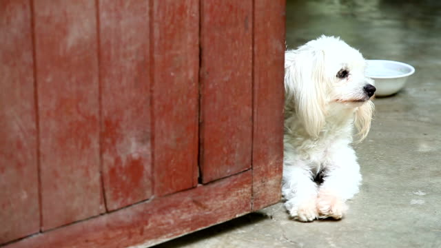 cute little dog in the house - havanese stock videos & royalty-free footage