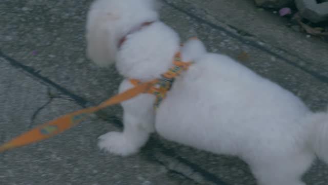 POV : Cute little dog walking