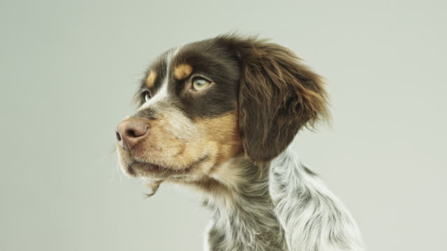 cute little epagneul breton dog portrait - spaniel stock videos and b-roll footage