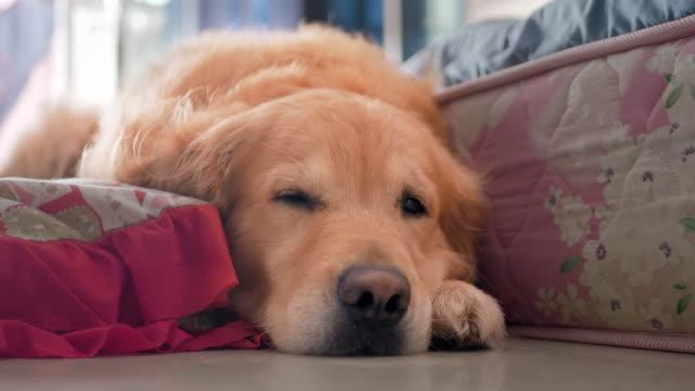 cute little golden retriever dog sleepy during day time - golden retriever stock videos & royalty-free footage