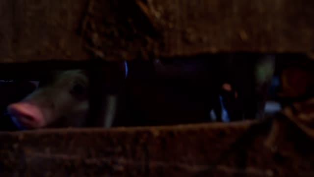 nette kleine schweinenasen - haarzopf stock-videos und b-roll-filmmaterial