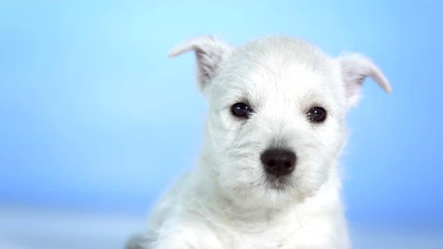 vídeos de stock e filmes b-roll de hd: cute little cachorrinho - fundo azul