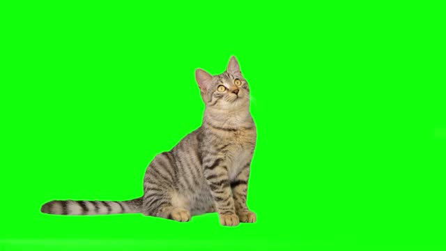 cute little tabby cat on green screen - animal eye stock videos & royalty-free footage