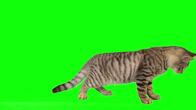 cute little tabby cat on green screen - animal hair stock videos & royalty-free footage