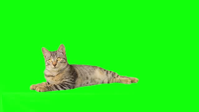 cute little tabby kitten on green screen - animal eye stock videos & royalty-free footage