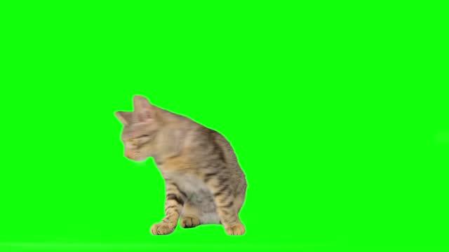 cute little tabby kitty on green screen - animal eye stock videos & royalty-free footage