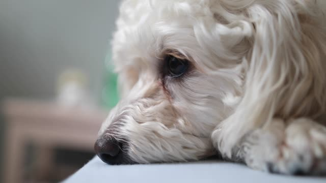 cute little white dog in bad - dog blinking stock videos & royalty-free footage