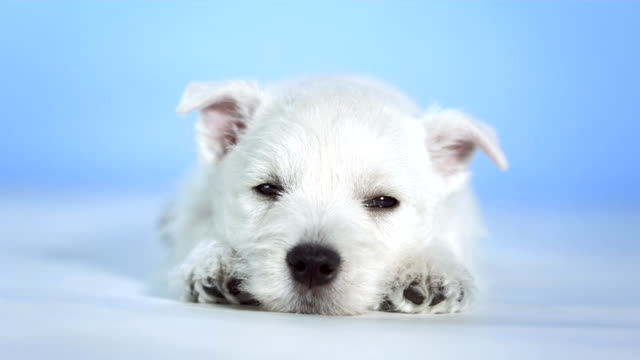 HD: Cute Little White Puppy Sleeping