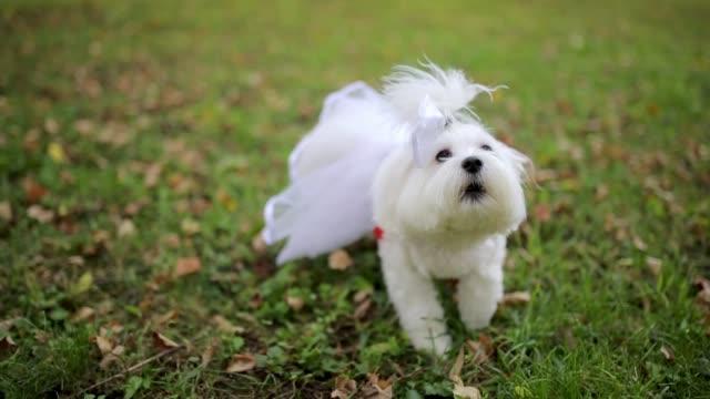 cute maltese dog in dress barking in public park. - bark stock videos & royalty-free footage