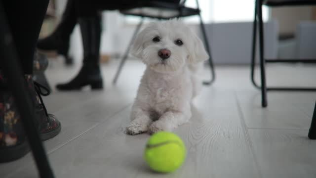 cute maltese dog - tennis ball stock videos & royalty-free footage