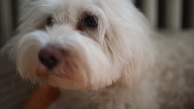 cute maltese dog yawning and resting in his bed - pet bed stock videos and b-roll footage